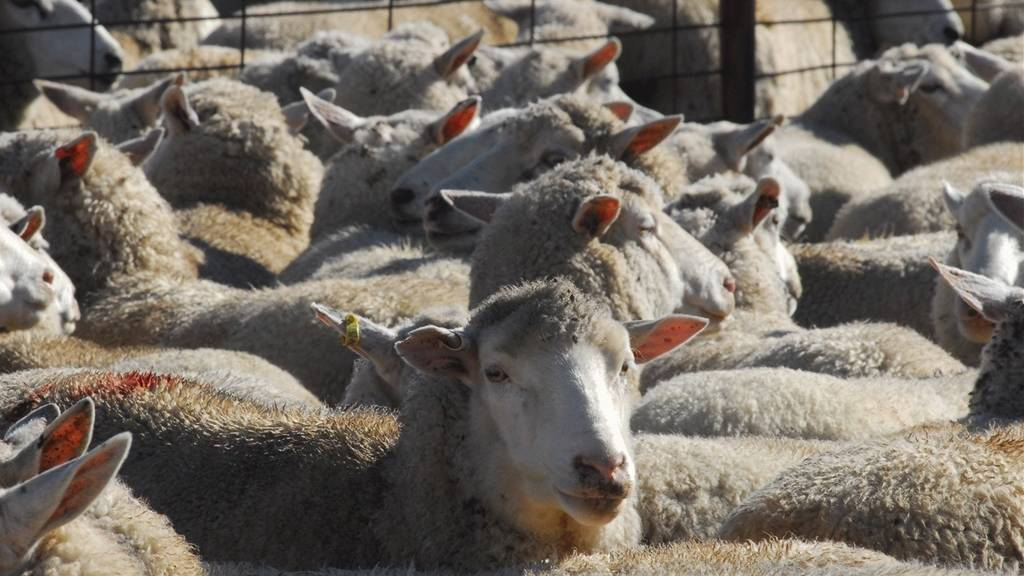 Livestock industry benefits after Q Fever vaccination production secured