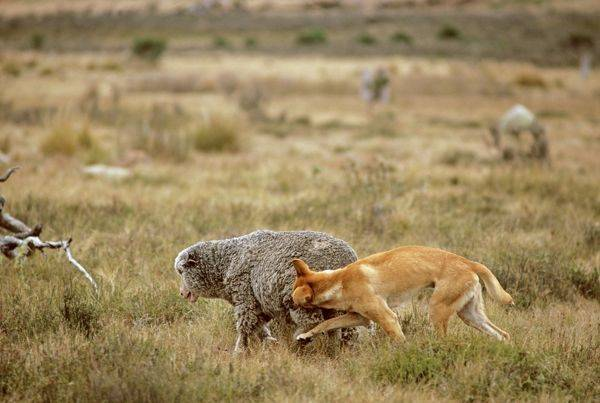CONSIDERATION GIVEN: Parks Victoria is considering the reintroduction of dingoes to Grampians National Park. Picture: Supplied